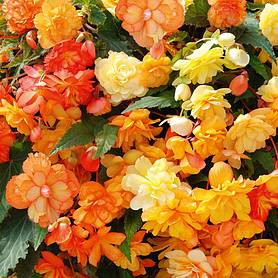 Begonia 'Apricot Shades' Improved
