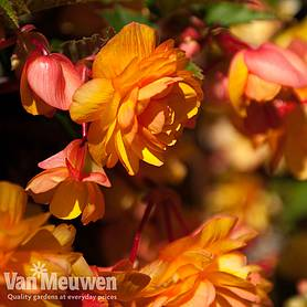 begonia x tuberhybrida apricot shades improved f hybrid