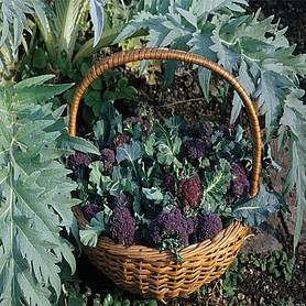 Broccoli Extra Early Purple Sprouting 'Rudolph' (Seeds)