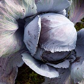 Cabbage 'Ruby Ball' F1 Hybrid (Autumn) (Seeds)