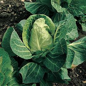 Cabbage 'April' (Spring) (Seeds)