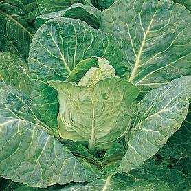 Cabbage 'Durham Early' (Spring) (Seeds)