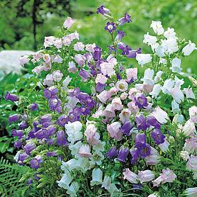 Canterbury Bells 'Cup & Saucer Mix' (Seeds)