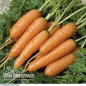Carrot 'Amsterdam Forcing 3' (Seeds)