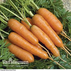 carrot amsterdam forcing  seeds