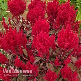 Celosia 'Dragon's Breath'