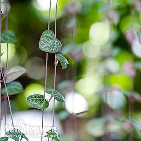 string of hearts house plant