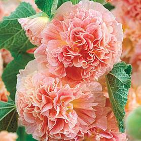 heavenly hollyhock collection