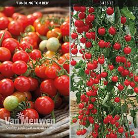 Cherry Tomato Duo Collection
