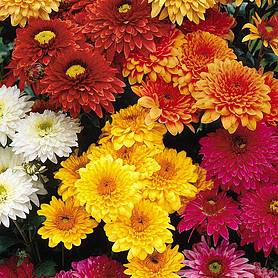 Chrysanthemum 'Double American Spray'