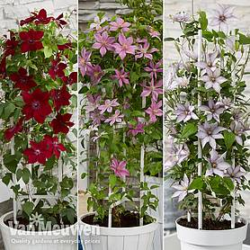 Clematis Patio Collection