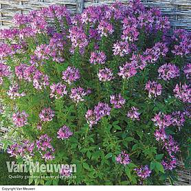 Cleome 'Kelly Rose'