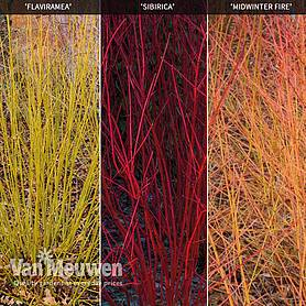 Cornus Winter Stems Collection