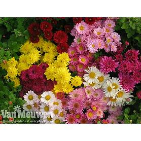 Crazy Chrysanthemum Mix