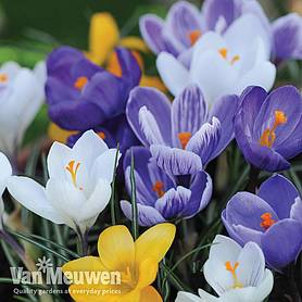 crocus value mix