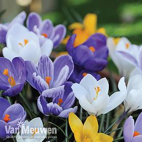 Crocus 'Value Mix'