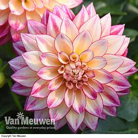 Dahlia 'Tropical Breeze' (Dahlinova Hypnotica Series)