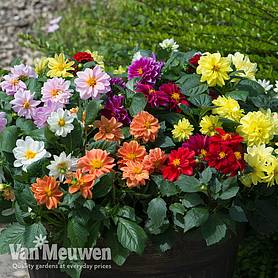 Dahlia 'Figaro Mix'