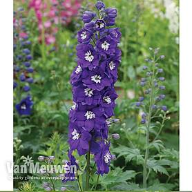 Delphinium 'Dark Blue & White Bee'