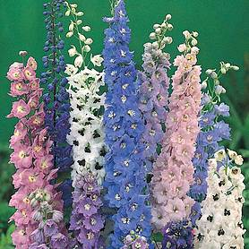 Delphinium 'Magic Fountains Mixed'