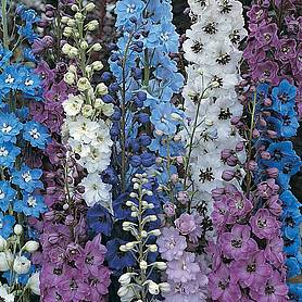 Delphinium 'Pacific Giants Mixed'