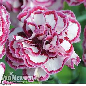dianthus scented collection