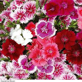 Sweet William 'Festival Mixed' (Garden Ready)