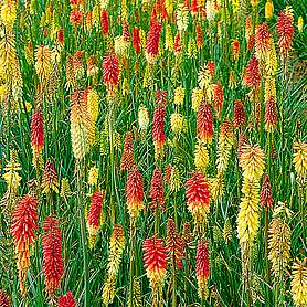 red hot poker flamenco mixed