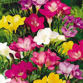 freesia bulbs single flowered