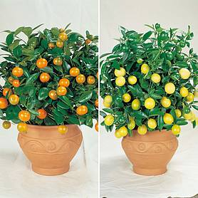 Orange & Lemon Trees