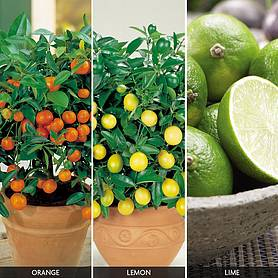 Citrus Tree 'Trio Collection'