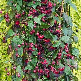 Fuchsia 'Lady in Black' (Climbing)