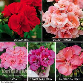 Geranium Giant Bumper Collection