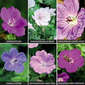 Hardy Geranium Collection