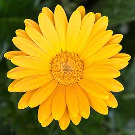 Gerbera 'Sweet Honey'