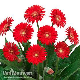 gerbera sweet love