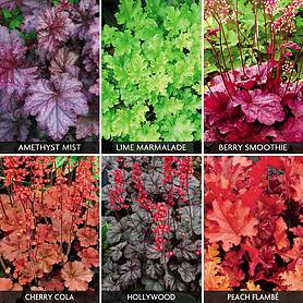 Heuchera 'Super Six Collection'