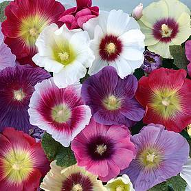 Hollyhock 'Halo Mixed' (Seeds)