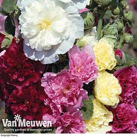 hollyhock chaters double mixed large plant
