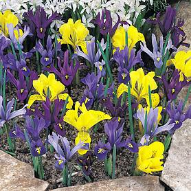 Iris 'Dwarf Collection'