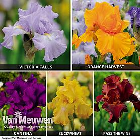 Iris Re-Blooming Collection