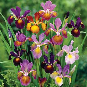 Iris 'Metallic Mix'