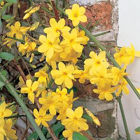 Jasminum nudiflorum (Large Plant)