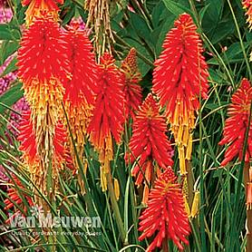 Red Hot Poker 'Papaya Popsicle'