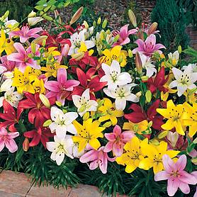 Lily 'Colour Carpet'
