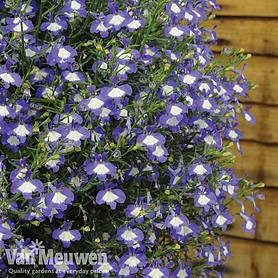 lobelia waterfall ice blue