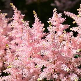 astilbe x arendsii look at me