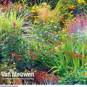 Seasonal Border Perennial Plants 'Nurserymans Choice'