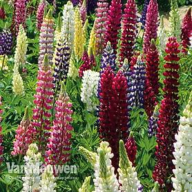 Lupin 'Lupini Mixed'