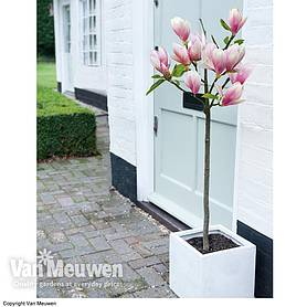Magnolia 'Red Lucky' (Standard)